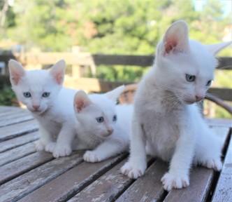 2018.07.14-Gato khao manee barcelona kitten 05
