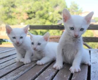 2018.07.14-Gato khao manee barcelona kitten 06