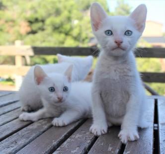 2018.07.14-Gato khao manee barcelona kitten 07