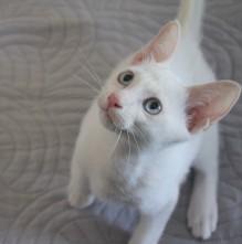 2018.08.16-Gato khao manee barcelona kitten 01 Japi