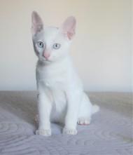 2018.08.16-Gato khao manee barcelona kitten - Dizzy 02