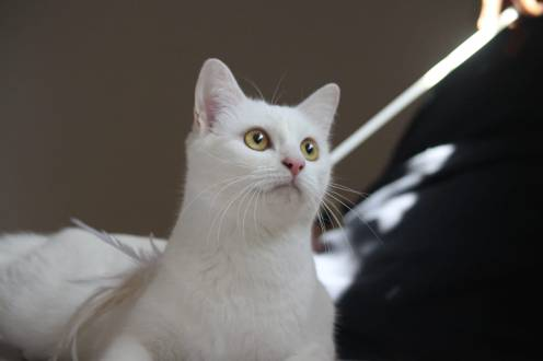 comprar gato barcelona khao manee cat kitten 04