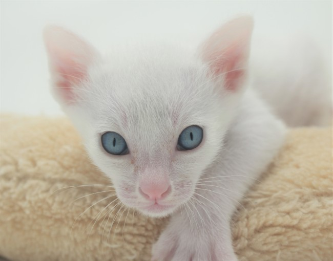 khao manee kitten for sell white cat for sell comprar gato Barcelona 01 Gandalf