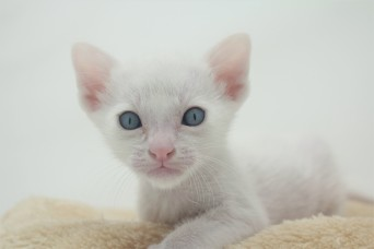 khao manee kitten for sell white cat for sell comprar gato Barcelona 02 Gandalf