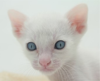khao manee kitten for sell white cat for sell comprar gato Barcelona 03 Gandalf