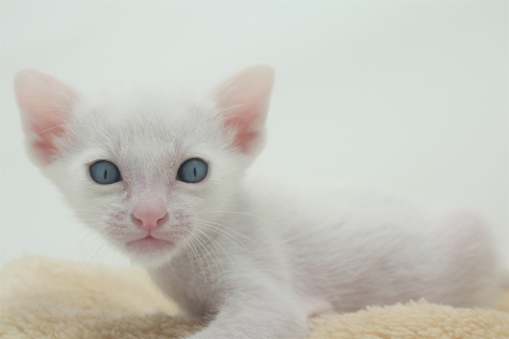 khao manee kitten for sell white cat for sell comprar gato Barcelona 04 Gandalf