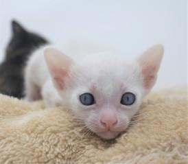 khao manee kitten for sell white cat for sell comprar gato Barcelona Dot 01
