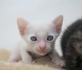 khao manee kitten for sell white cat for sell comprar gato Barcelona Dot 02