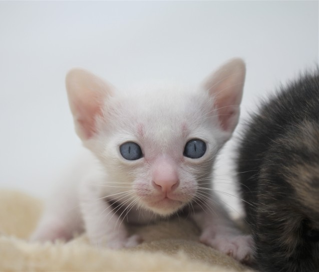 khao manee kitten for sell white cat for sell comprar gato Barcelona Dot 02