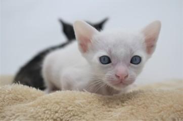 khao manee kitten for sell white cat for sell comprar gato Barcelona Dot 03