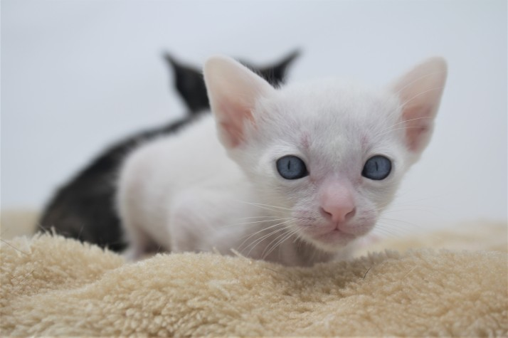 khao manee kitten for sell white cat for sell comprar gato Barcelona Dot 03