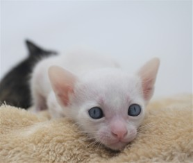 khao manee kitten for sell white cat for sell comprar gato Barcelona Dot 04