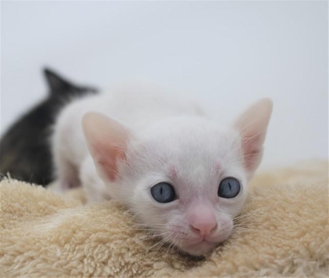 khao manee kitten for sell white cat for sell comprar gato Barcelona Dot 04