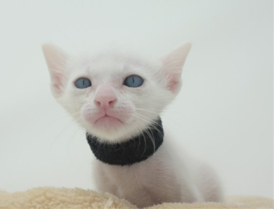 khao manee kitten for sell white cat for sell comprar gato Barcelona Gallager 01