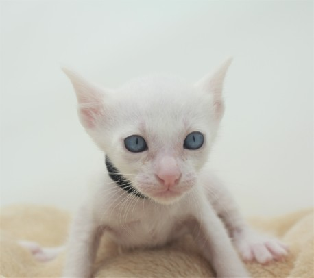 khao manee kitten for sell white cat for sell comprar gato Barcelona Gallager 02