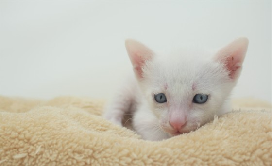 khao manee kitten for sell white cat for sell comprar gato Barcelona Garibaldi 01