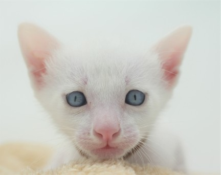 khao manee kitten for sell white cat for sell comprar gato Barcelona Garibaldi 02