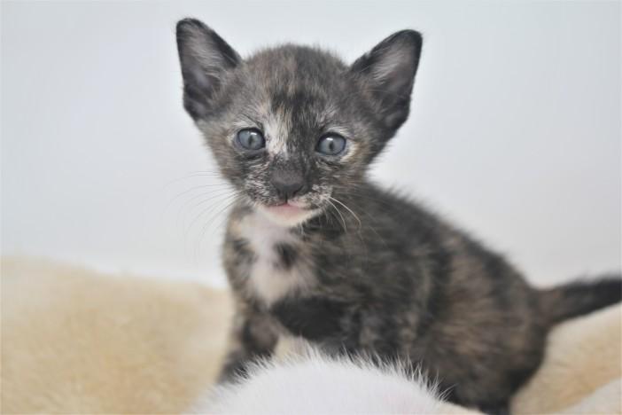 khao manee kitten for sell white cat for sell comprar gato Barcelona June 01