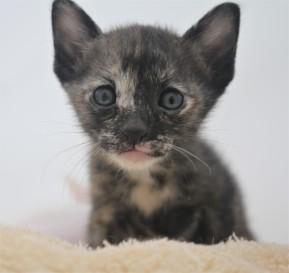 khao manee kitten for sell white cat for sell comprar gato Barcelona June 02