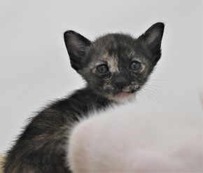 khao manee kitten for sell white cat for sell comprar gato Barcelona June 03