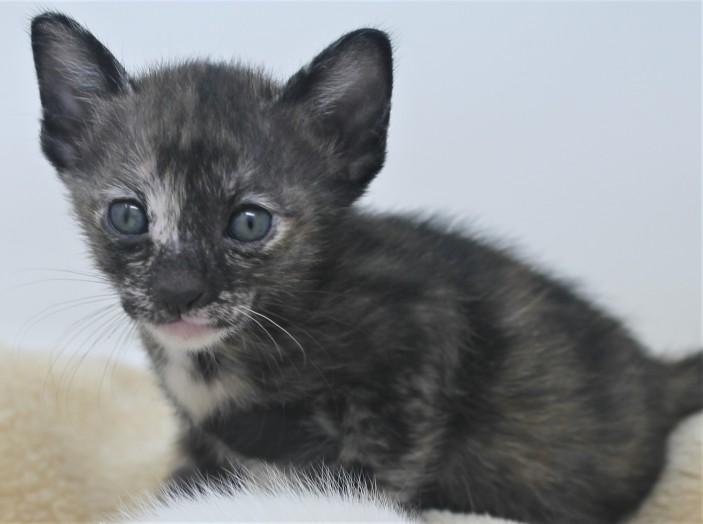 khao manee kitten for sell white cat for sell comprar gato Barcelona June 04