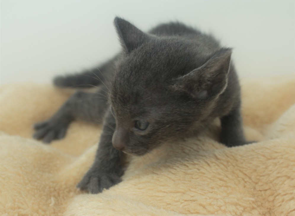 Korat kitten for sell Barcelona comprar gato gris 01 Goth