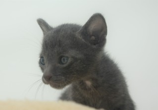 Korat kitten for sell Barcelona comprar gato gris 03 Goth