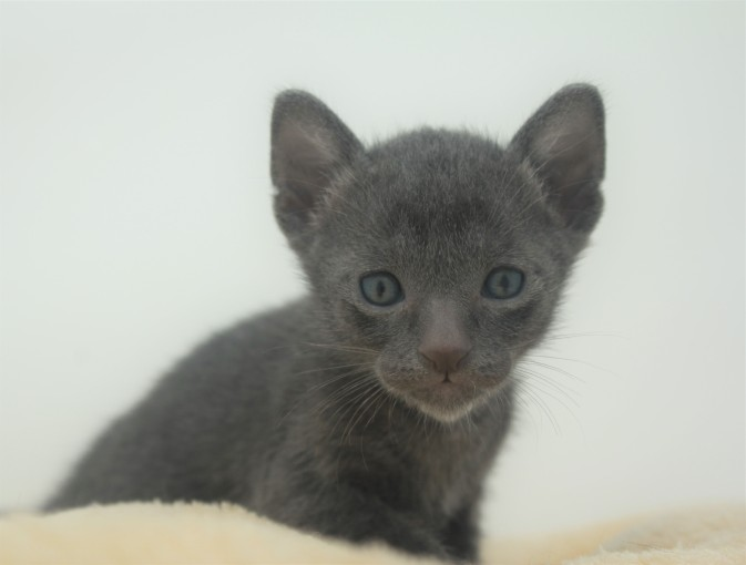 Korat kitten for sell Barcelona comprar gato gris 04 Goth