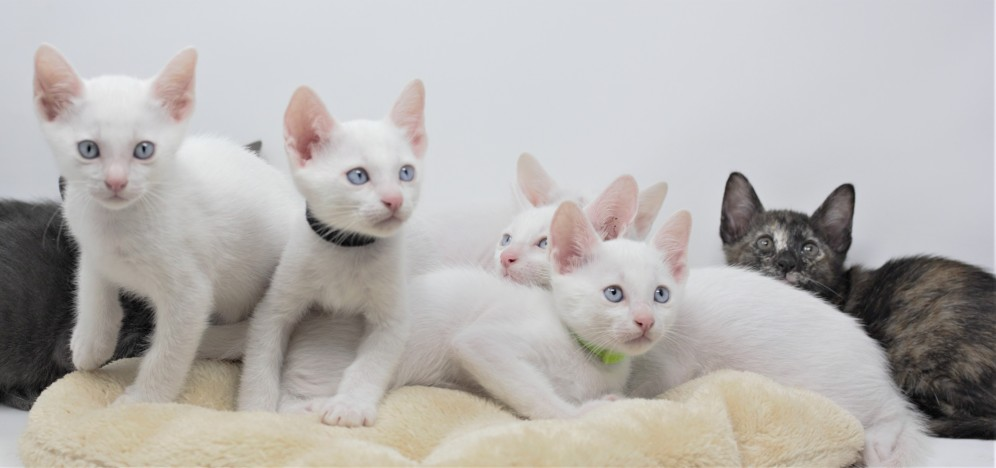 khao manee kitten for sell white cat comprar gato barcelona gatito blanco 02