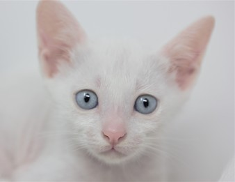 khao manee kitten for sell white cat comprar gato barcelona gatito blanco Dot 0