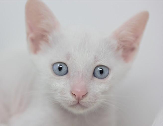 khao manee kitten for sell white cat comprar gato barcelona gatito blanco Dot 0