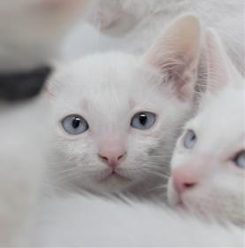 khao manee kitten for sell white cat comprar gato barcelona gatito blanco Dot 01