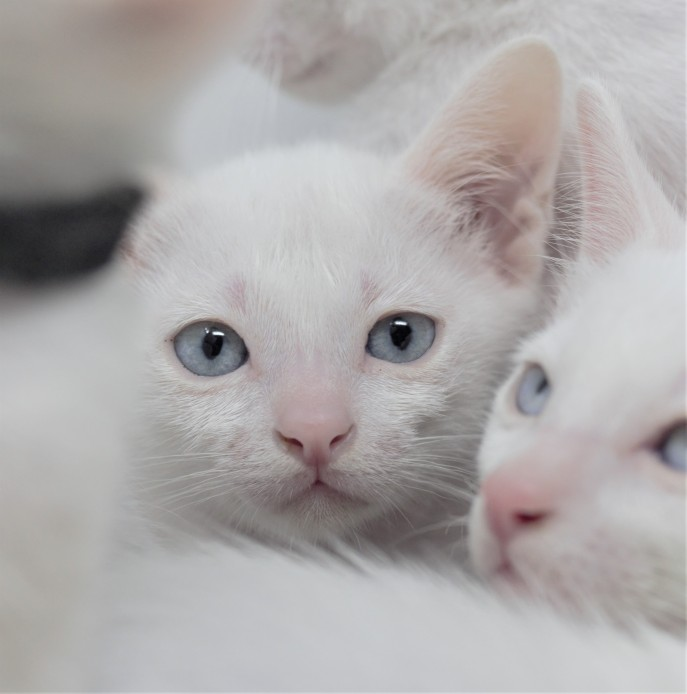 khao manee kitten for sell white cat comprar gato barcelona gatito blanco Dot 01