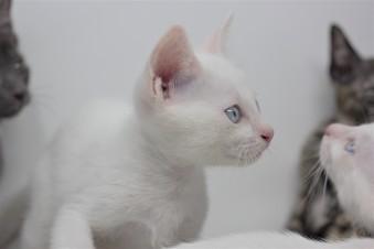 khao manee kitten for sell white cat comprar gato barcelona gatito blanco Dot 03