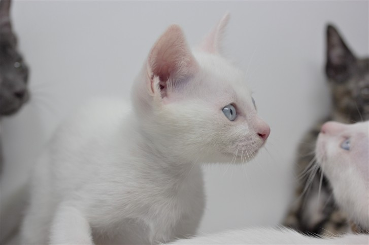 khao manee kitten for sell white cat comprar gato barcelona gatito blanco Dot 03