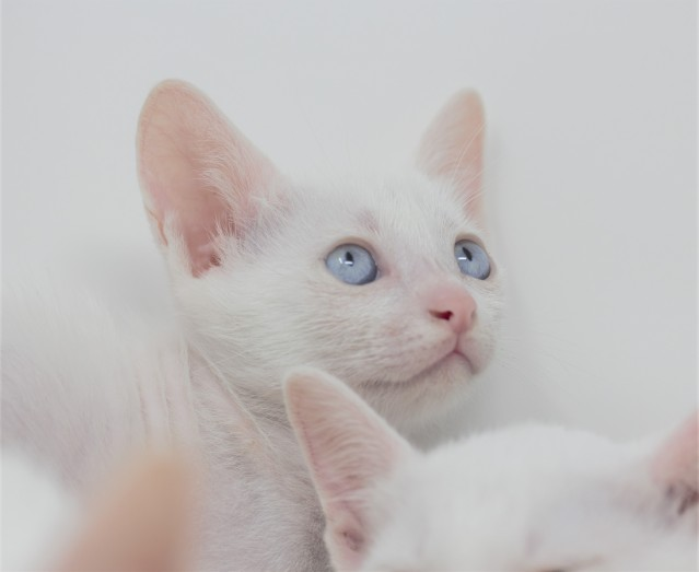 khao manee kitten for sell white cat comprar gato barcelona gatito blanco Dot 04