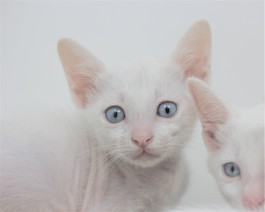 khao manee kitten for sell white cat comprar gato barcelona gatito blanco Dot 05
