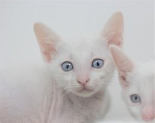 khao manee kitten for sell white cat comprar gato barcelona gatito blanco Dot 05