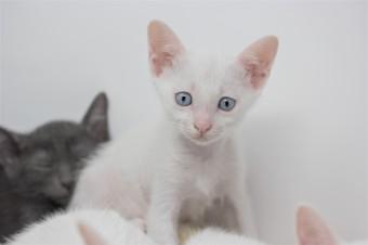 khao manee kitten for sell white cat comprar gato barcelona gatito blanco Dot 06