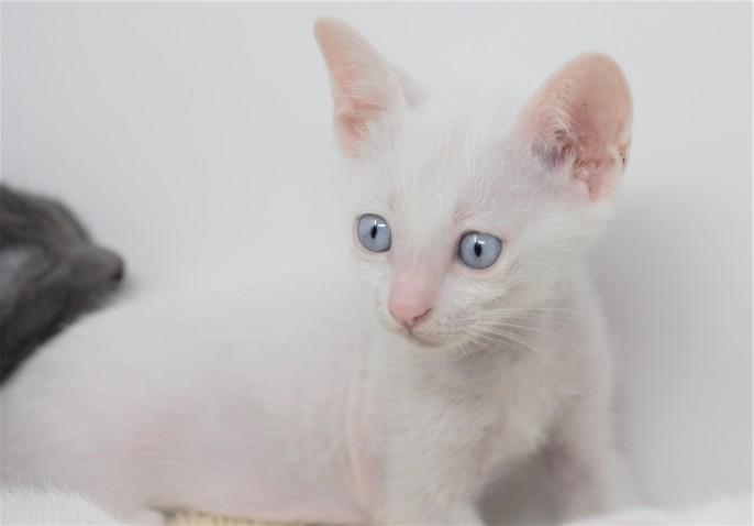 khao manee kitten for sell white cat comprar gato barcelona gatito blanco Dot 07