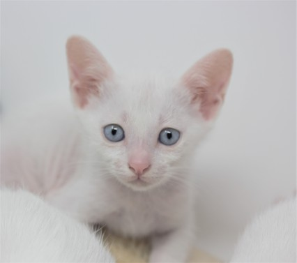 khao manee kitten for sell white cat comprar gato barcelona gatito blanco Dot 08