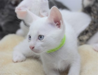 khao manee kitten for sell white cat comprar gato barcelona gatito blanco Giovanni 01