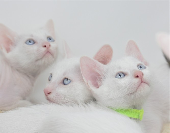 khao manee kitten for sell white cat comprar gato barcelona gatito blanco Giovanni 03