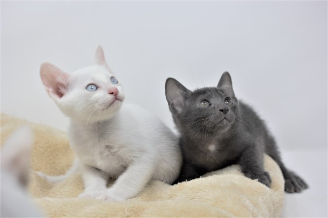 Khao manee kitten for sell white kitten comprar gato barcelona 01