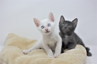 Khao manee kitten for sell white kitten comprar gato barcelona 02