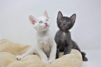 Khao manee kitten for sell white kitten comprar gato barcelona 04