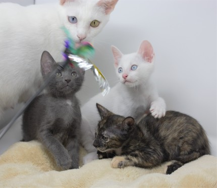 Khao manee kitten for sell white kitten comprar gato barcelona 08
