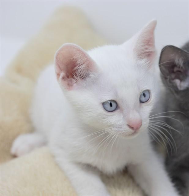 Khao manee kitten for sell white kitten comprar gato barcelona Gandalf 04