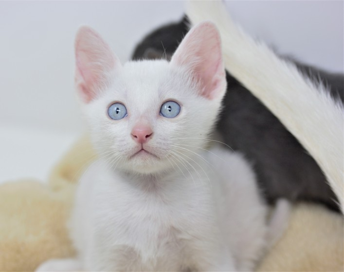 Khao manee kitten for sell white kitten comprar gato barcelona Gandalf 05