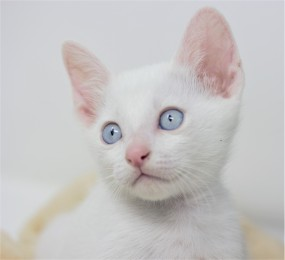 Khao manee kitten for sell white kitten comprar gato barcelona Gandalf 07